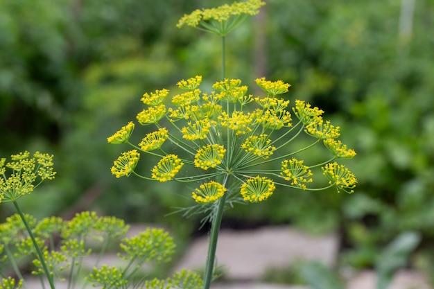 Bloem van groene dille venkel. groene achtergrond met bloemen van dille