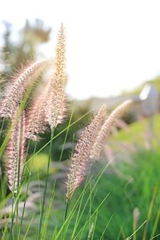 Bloem van het aard de wilde gras bij gouden zonsondergang. ondiepe scherptediepte.