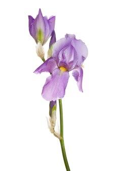 Bloem van roze iris geïsoleerd op een witte background