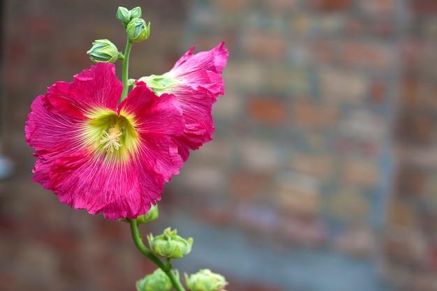 Bloem van roze malveclose-up