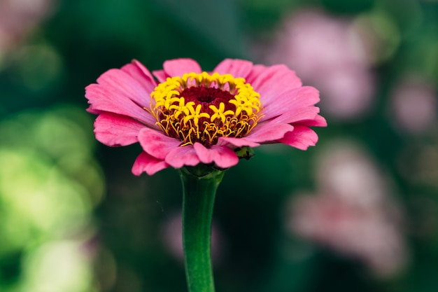 Bloem van roze zinnia close-up.