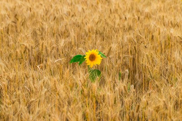 Bloem van zonnebloem in een veld van tarwe Premium Foto