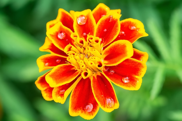 Bloemachtergrond, mooie en heldere bloem