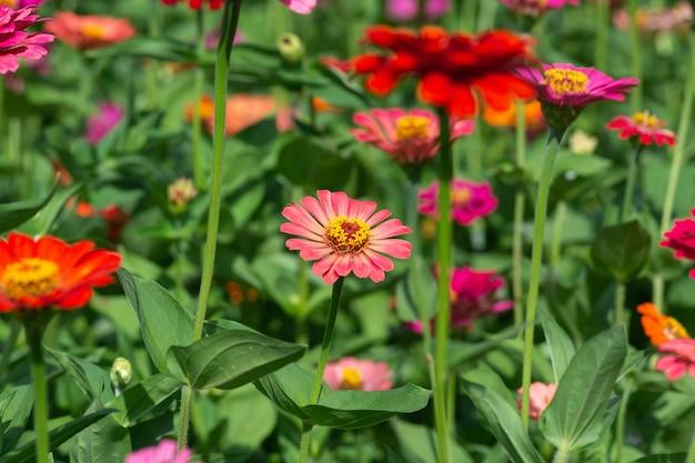 Bloemachtergrond, veel mooie en heldere kleuren van zinnia peruviana