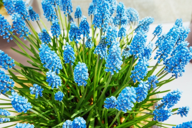 Bloembed met blauwe muscari bloemen europa