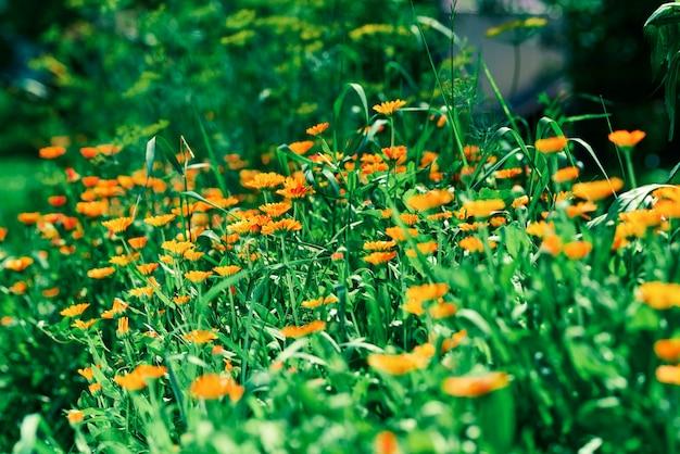 Bloembed met calendulabloemen