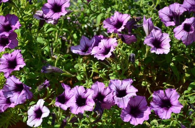 Bloembed met veelkleurige paarse en violette petunia's. macroschot van mooie kleurrijke petunia (petunia-hybrida) bloemen
