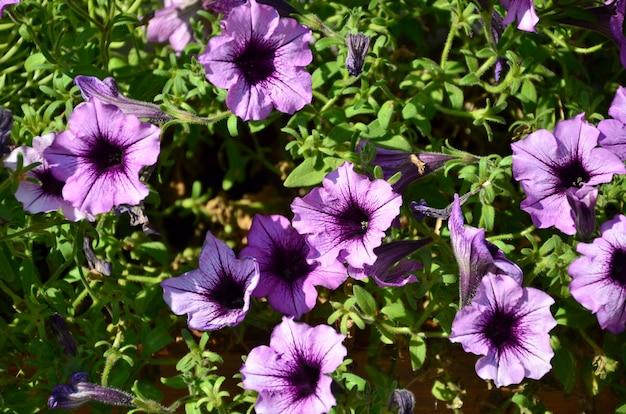 Bloembed met veelkleurige paarse en violette petunia's.