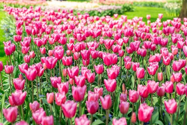 Bloembed van mooie tulpen