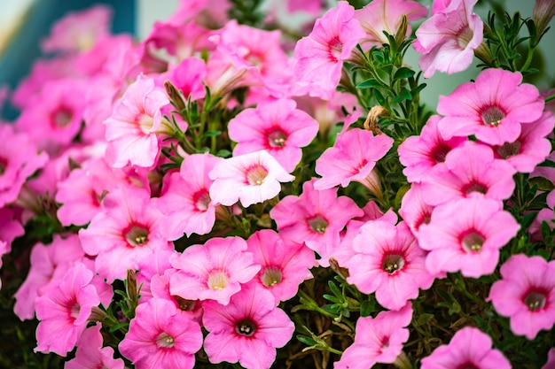 Bloembed van petuniabloemen