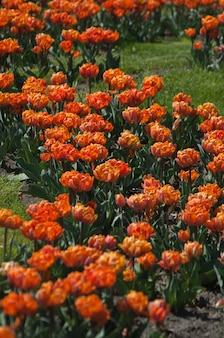 Bloembed van prachtige kleurrijke tulpen