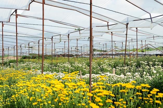 Bloembedden van gerbera en chrysanten worden op een boerderij geteeld