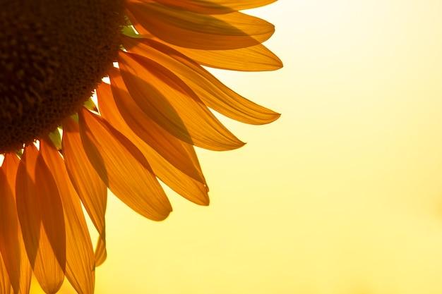 Bloemblaadjes van een zonnebloem close-up in de zonnestralen tegen de achtergrond van de hemel. landbouw en agro-industrie