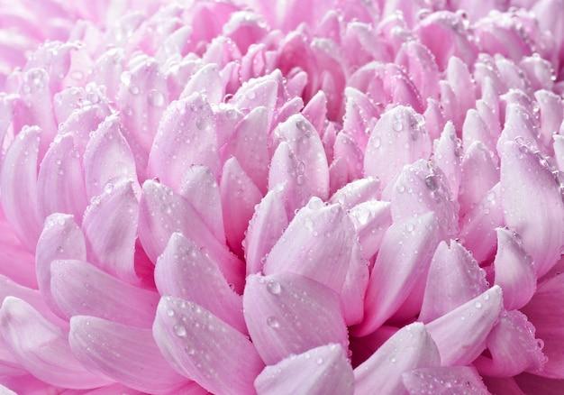 Bloemblaadjes van grote roze chrysanten in dauwdruppels close-up.