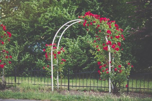 Bloemboog met bloeiende rode klimrozen tuinontwerpconcept
