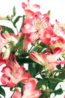 Bloemen achtergrond. boeket van alstroemeria bloemen in volle bloei. roze bloemen van alstroemeria