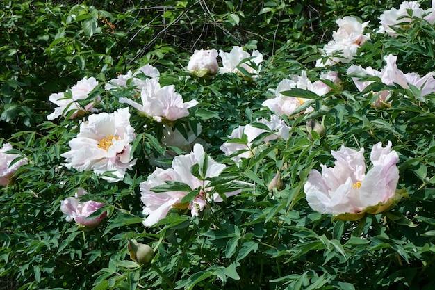 Bloemen achtergrond. mooie witte pioenrozen in de tuin in het zomerseizoen