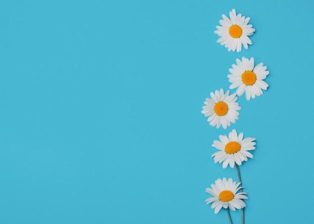 Bloemen blauwe achtergrond met camomiles