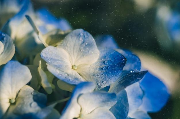 Bloemen blauwe hortensia's met spatten van regen