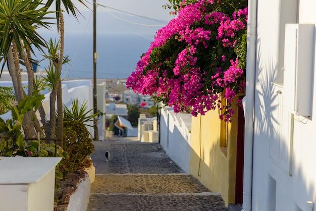 Bloemen die van een muur op een smalle straat in het dorp van oia, santorini hangen