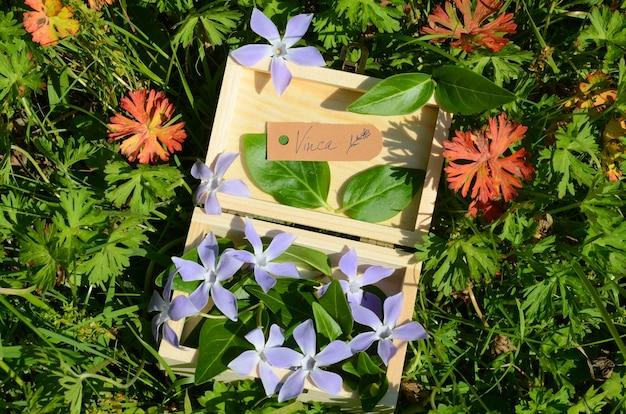 Bloemen en bladeren van maagdenpalm (vinca minor) in een houten kist. een label geeft de naam van de plant aan