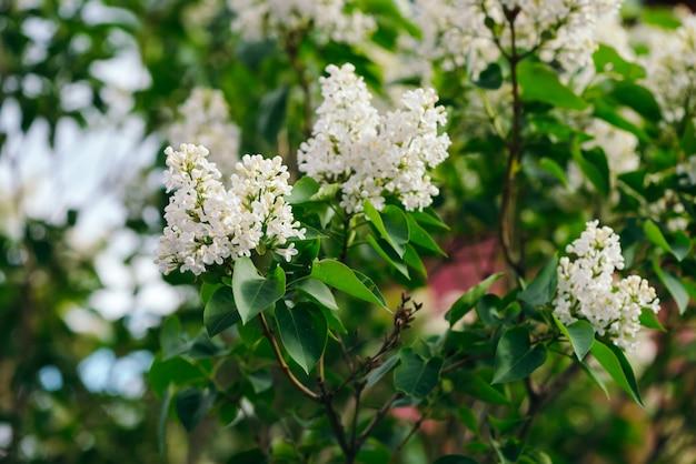 Bloemen en knoppen van lila bloeiend op tak