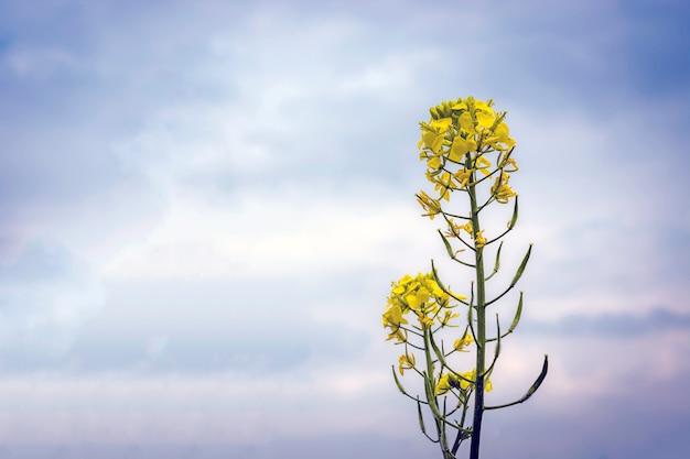 Bloemen en peulen van mosterd op het veld, tegen de hemel