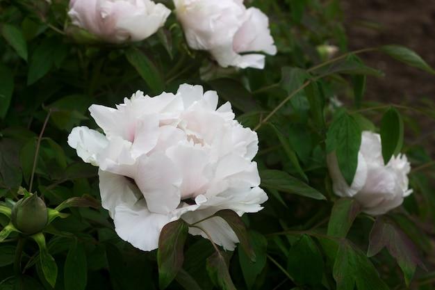 Bloemen en takken van een boomvormige witte pioen in de tuin.