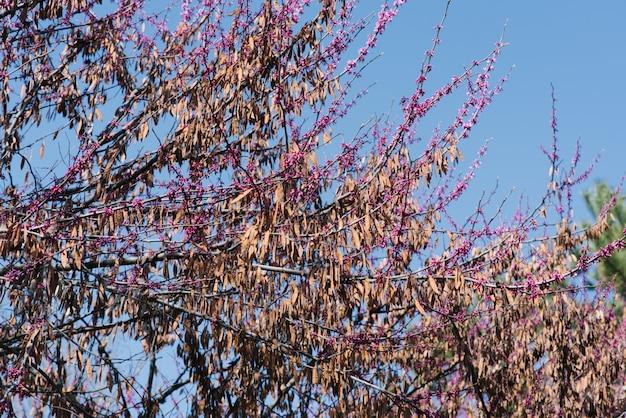 Bloemen en zaden van paarse canadese lente op een boom tegen een blauwe hemel.