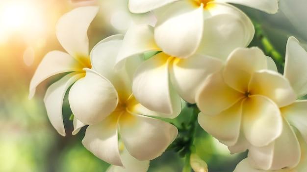 Bloemen frangipani plumeria