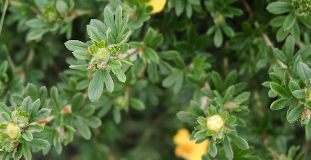 Bloemen groene achtergrond. bloemchrysant en bloemblaadjes van groene rozen. plaats voor tekst. detailopname.