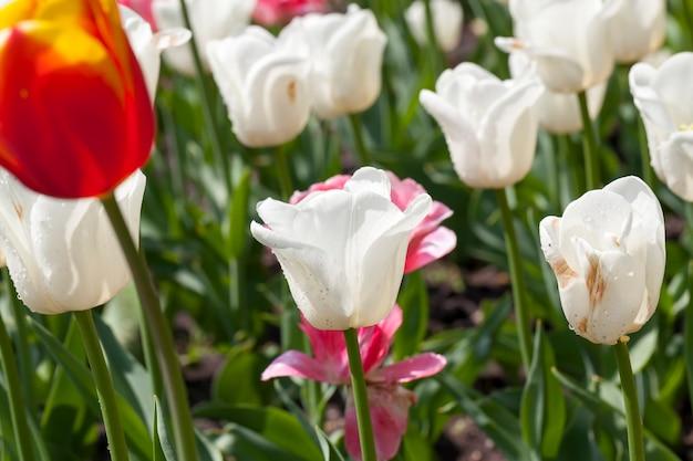 Bloemen in het voorjaar, bloemen worden gekweekt voor decoratie en landschapsarchitectuur van het territorium, vuil op de bloemen