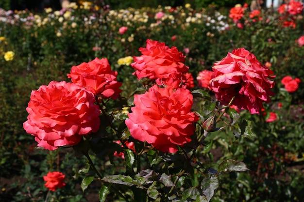 Bloemen in tuin van rotorua, nieuw zeeland