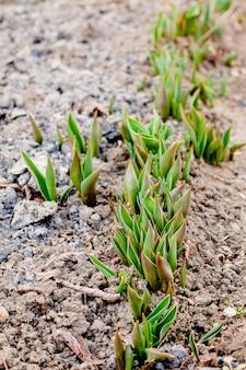 Bloemen in zonnige tuin en tulpeninstallatie. bloembed in mooie de lentedag. struik tulpen