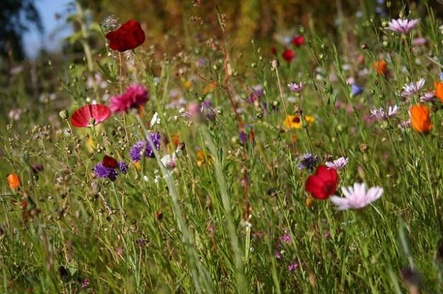 Bloemen korenbloem voorjaar wilde bloemen weide