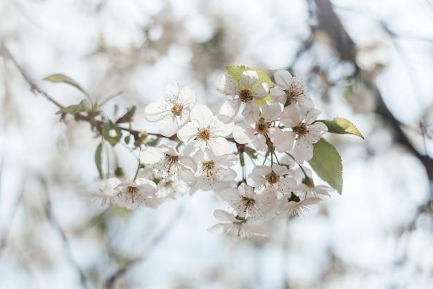 Bloemen lente met tot bloei komende kersenboomtak