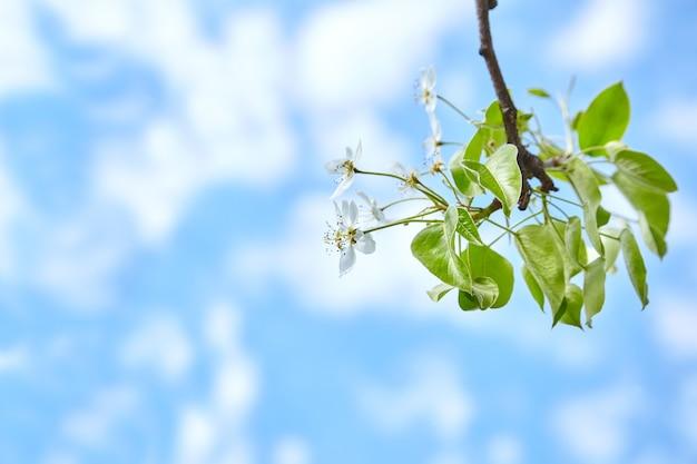 Bloemen met witte bloemblaadjes tegen de blauwe lucht. tak van tot bloei komende perenboom. voorjaar.