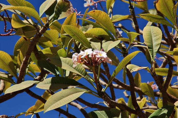 Bloemen op de boom, sudan, khartoum
