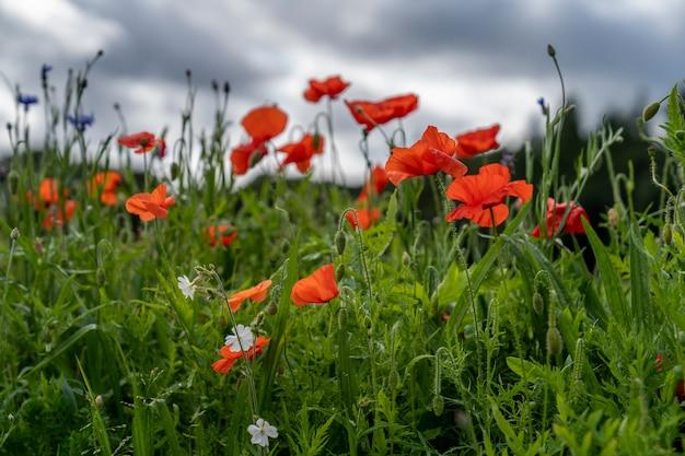 Bloemen op het gebied op een bewolkte dag in ierland.