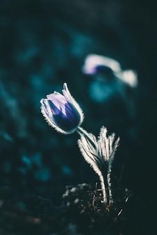 Bloemen pasque-bloem in bergen in het wild
