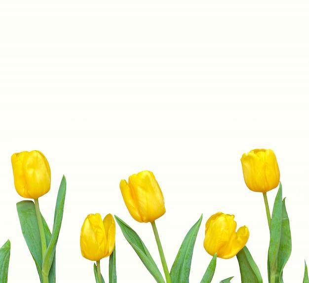 Bloemen samenstelling. frame gemaakt van gele tulpen op witte achtergrond in vierkant formaat. valentijnsdag, moederdag en vrouwendagconcept. plat lag, bovenaanzicht.