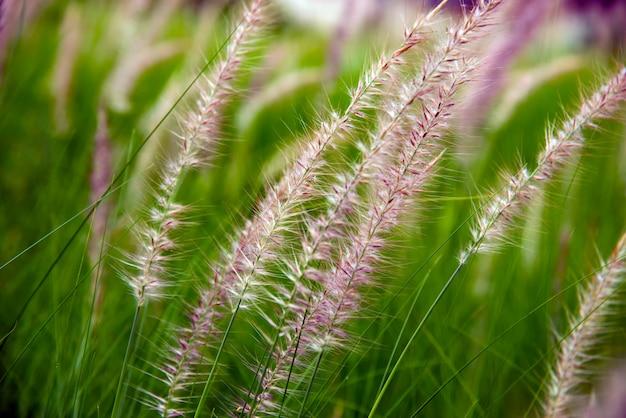 Bloemen van african fountain grass, onscherpe groene achtergrond.