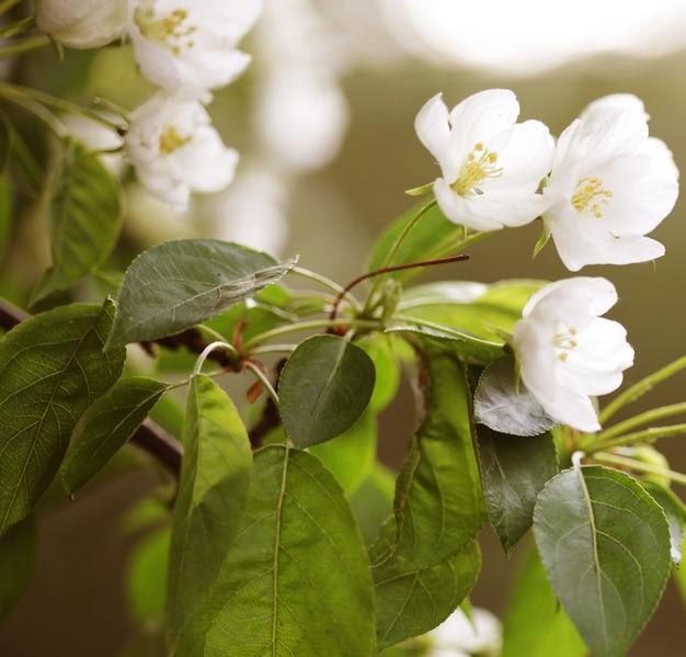 Bloemen van appel