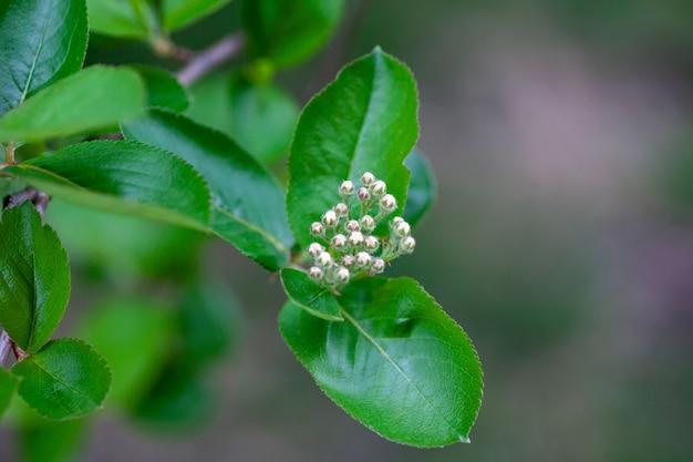 Bloemen van aronia takje appelbes met jonge groene bladeren en ongeopende knoppen van bloeiwijzen op...