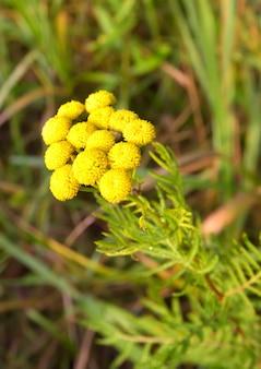 Bloemen van boerenwormkruid. een bos wilde geneeskrachtige kruiden op een wazige groene achtergrond