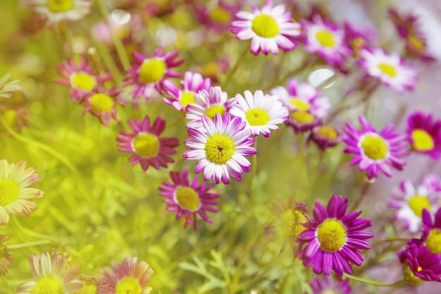 Bloemen van chrysanthemum