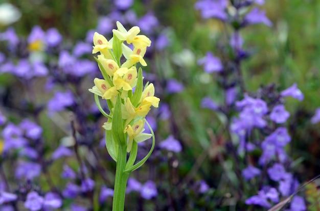 Bloemen van dactylorhiza sambucina, een wilde orchidee die groeit in berggrassen