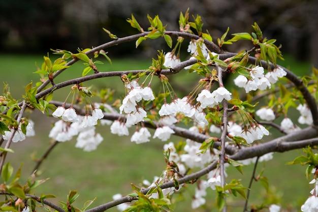 Bloemen van de kersenbloesem op een lentedag, lente