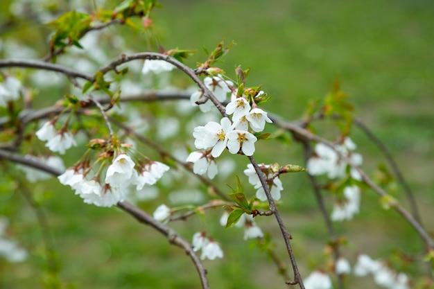 Bloemen van de kersenbloesem op een lentedag