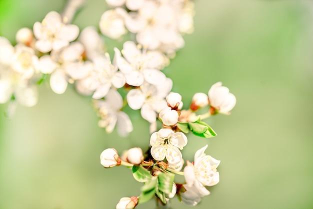 Bloemen van de kersenbloesems